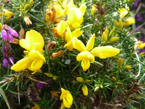 Dartmoor - Gorse