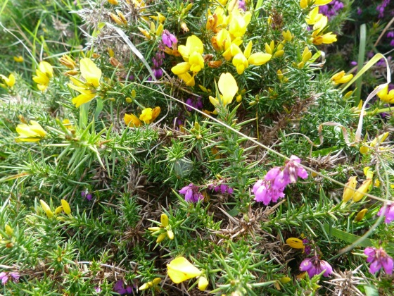 Dartmoor - Heather & Gorse
