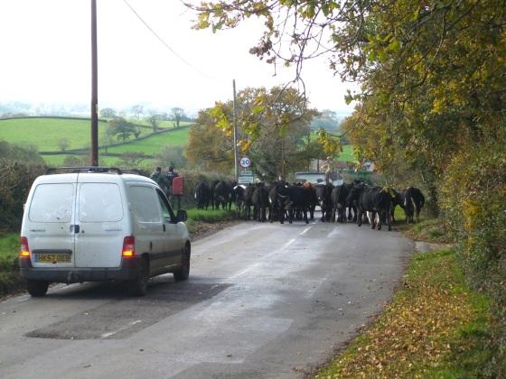 Dorset Cow Drive 1