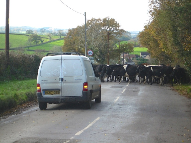 Dorset Cow Drive 2