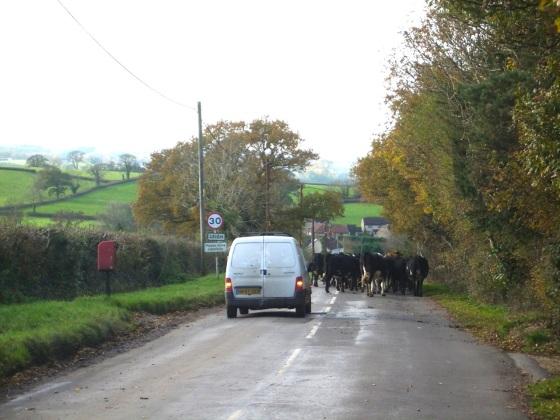 Dorset Cow Drive 3