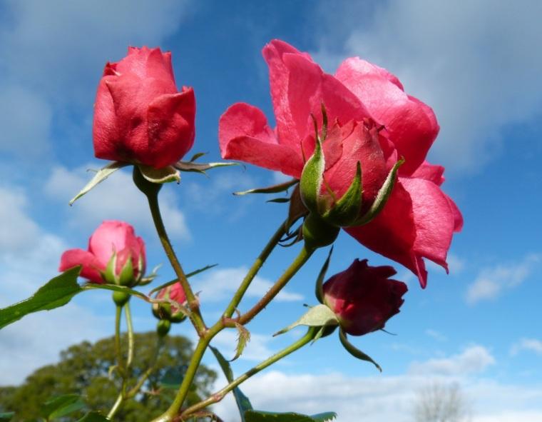 November Roses, Dorset 1