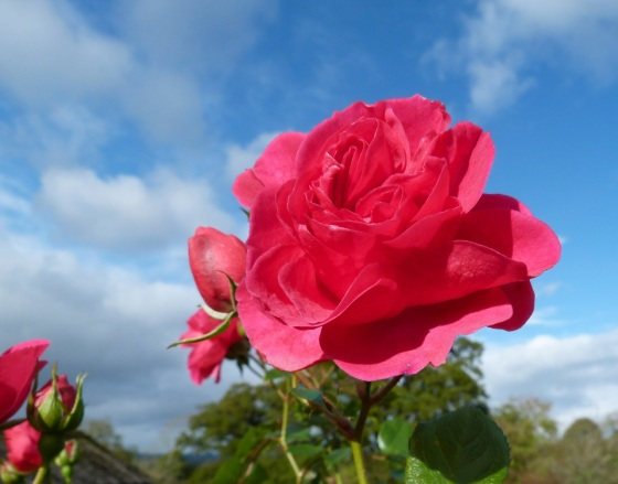 November Roses, Dorset 2