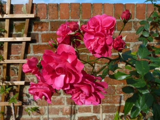 November Roses, Dorset 3