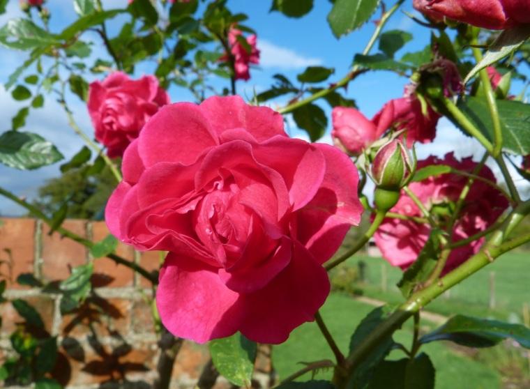November Roses, Dorset 4