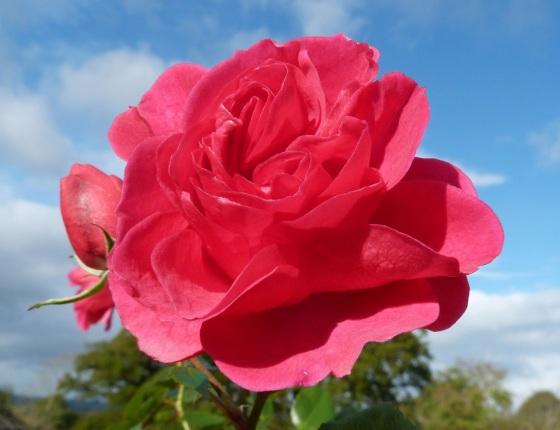 November Roses, Dorset 5