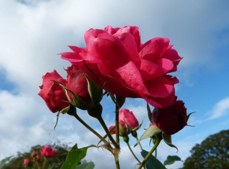 November Roses, Dorset 7