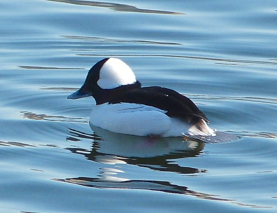 Bufflehead Duck Central Park NYC 3