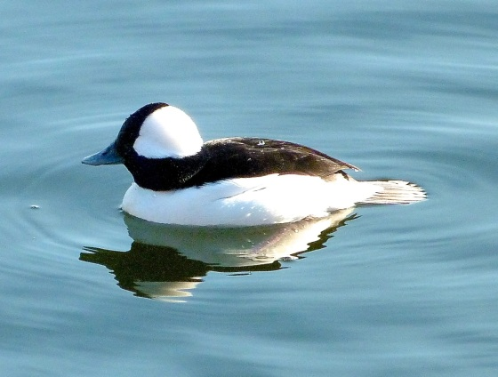 Bufflehead Duck Central Park NYC 5