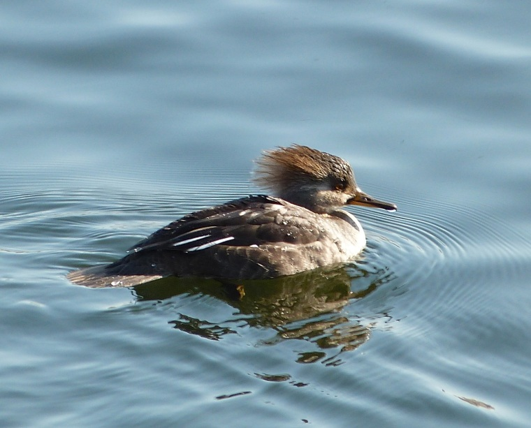 Hooded Merganser (f) NYC CP 1