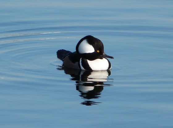 Hooded Merganser (m) NYC CP 2