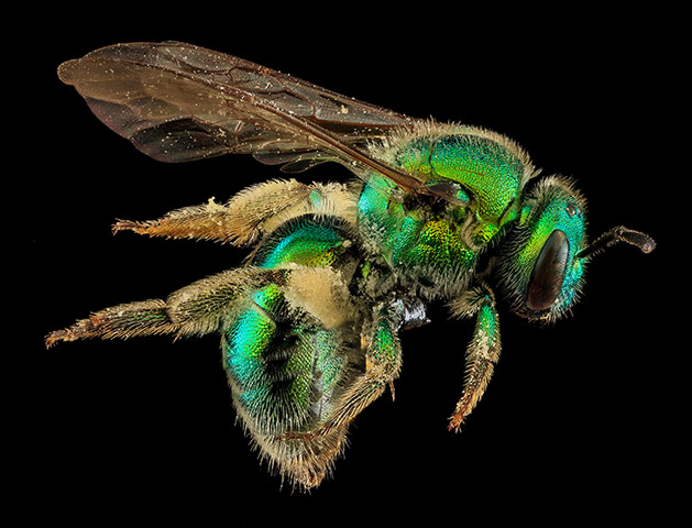 A female Augochloropsis metallica bee, collected from a tomato plant in San Francisco.