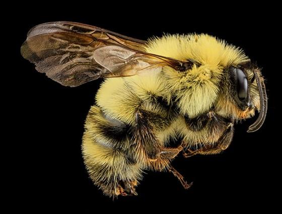A female Halictus ligatus bee, from the Morris Arboretum of the University of Pennsylvania