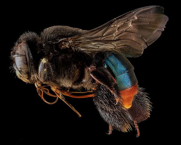 A female Anthophora affabilis bee from Badlands National Park, South Dakota