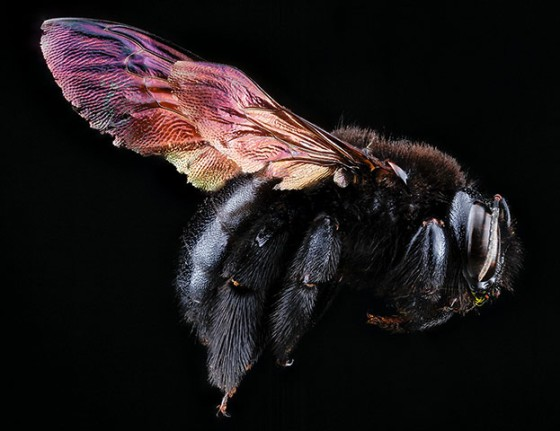 A female Andrena erythronii bee