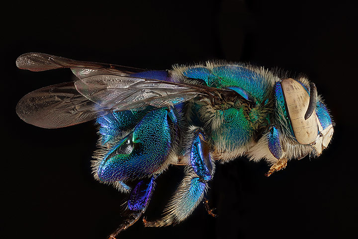 A male Bombus bimaculatus bee from Wolf Trap National Park