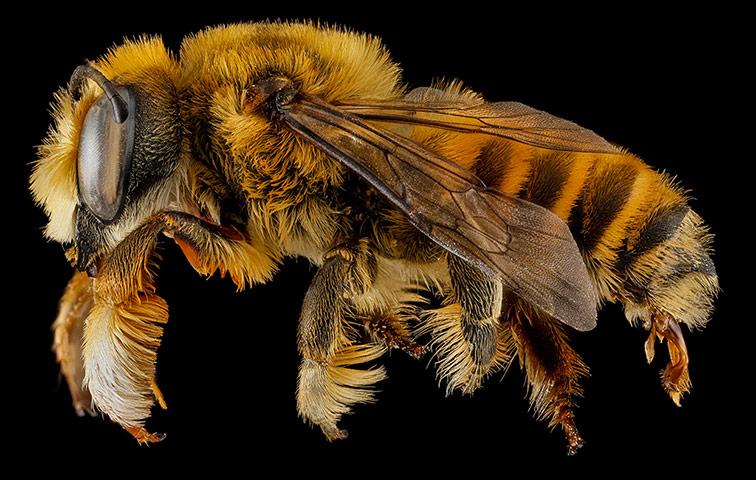A Megachile fortis bee from Badlands National Park, South Dakota
