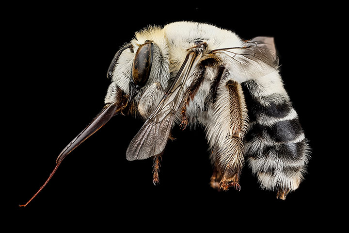 A female Centris species bee from the Dominican Republic