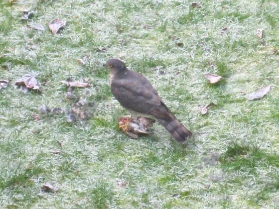 Redwing & Sparrowhawk, London 2
