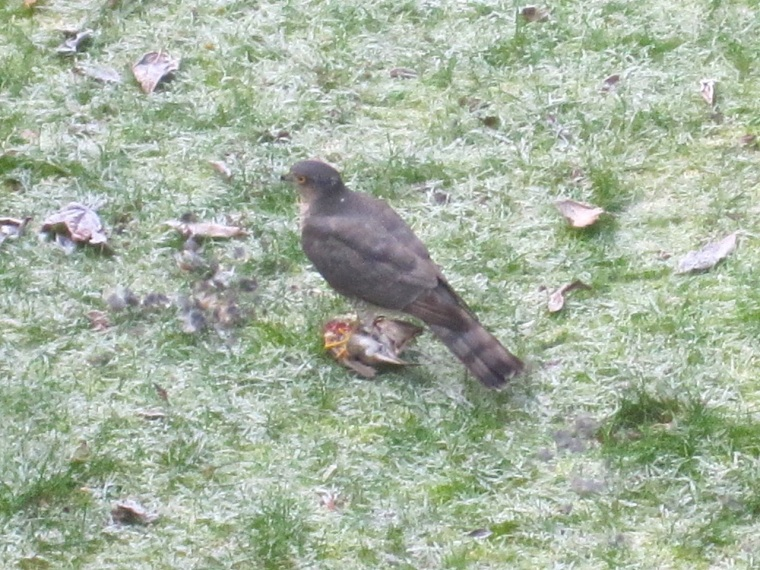 Redwing & Sparrowhawk, London 2