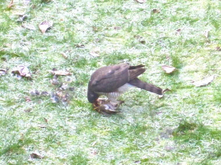 Redwing & Sparrowhawk, London 3