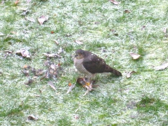 Redwing & Sparrowhawk, London 4