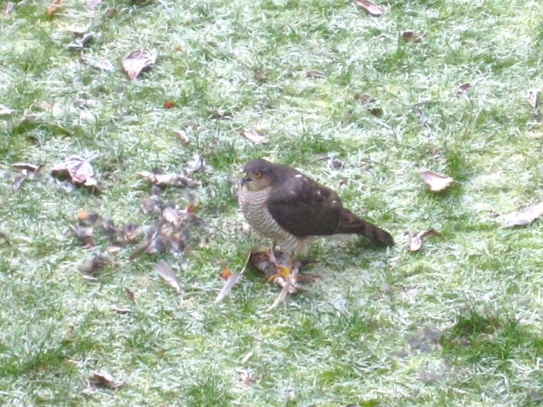Redwing & Sparrowhawk, London 4