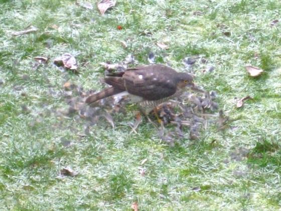 Redwing & Sparrowhawk, London 5