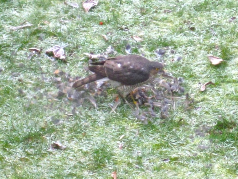 Redwing & Sparrowhawk, London 5