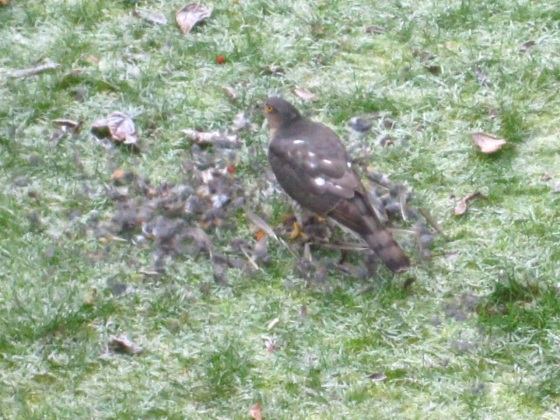 Redwing & Sparrowhawk, London 6