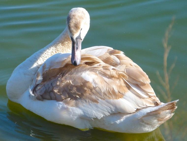 Swan NYC 11