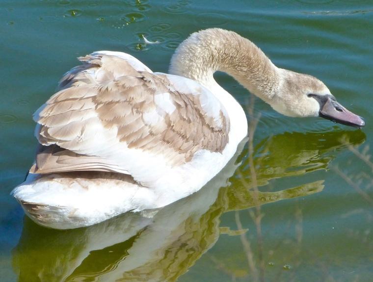 Swan NYC 12