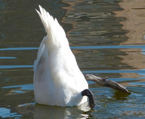 Swan NYC 3