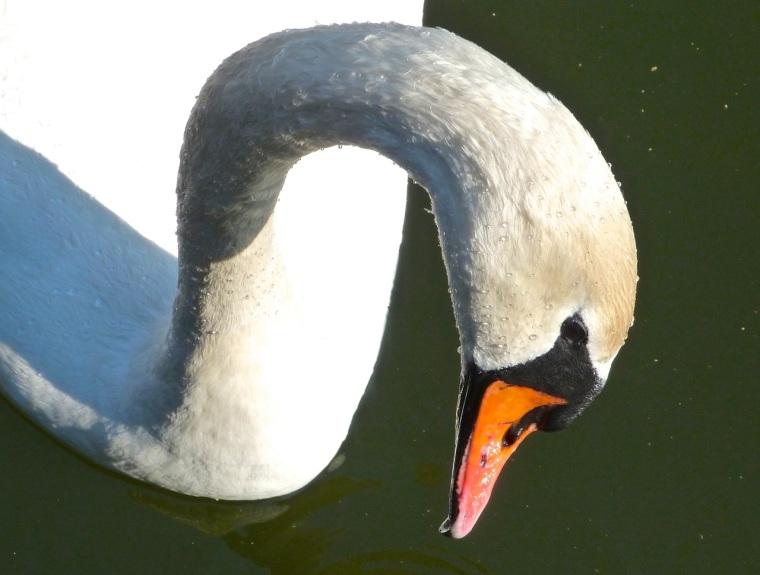 Swan NYC 7