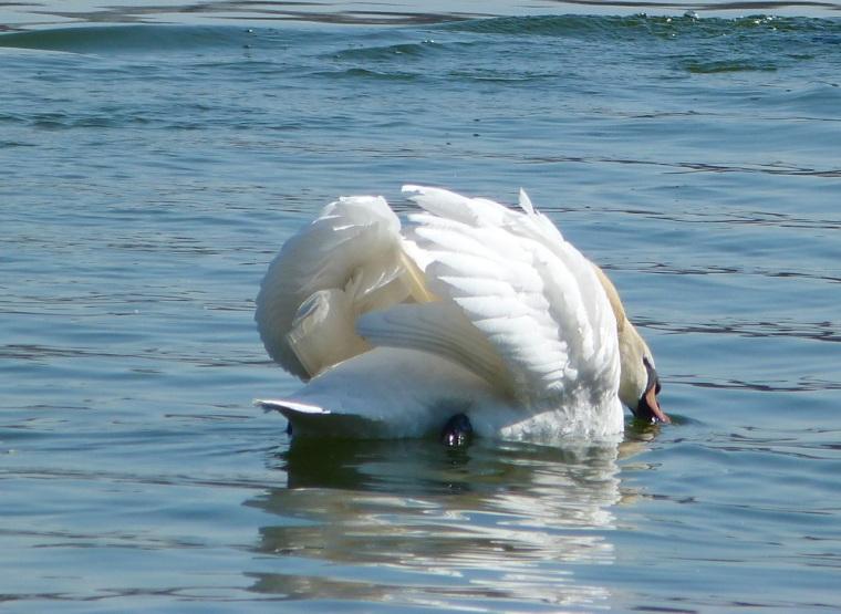 Swan NYC 9