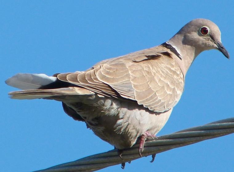 Collared Dove RH