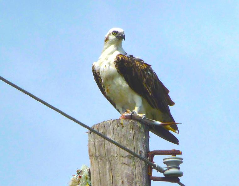 Osprey (Woody Bracey) copy2