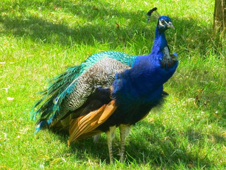 Peacock Harcourt Arboretum 2