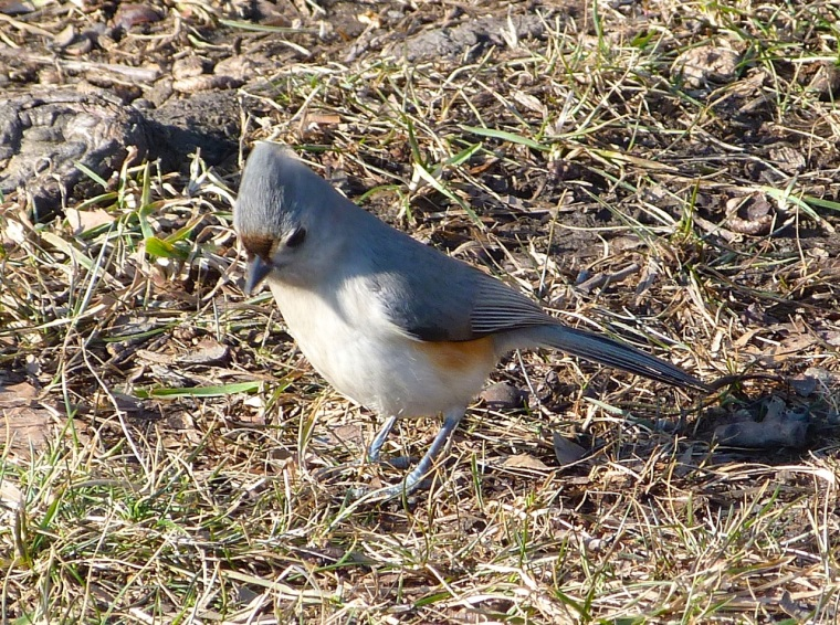 Tufted Titmouse CP NYC 1