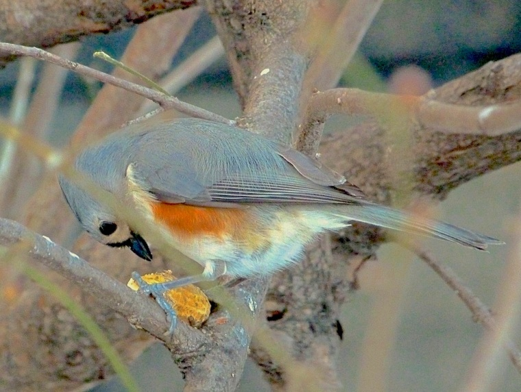 Tufted Titmouse CP NYC 3 copy