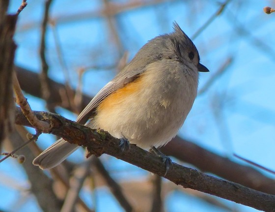Tufted Titmouse CP NYC 4