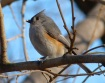 Tufted Titmouse CP NYC 5