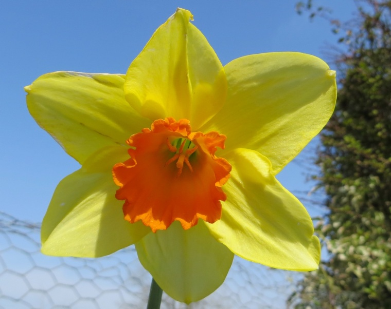 Daffodil Totnell 8