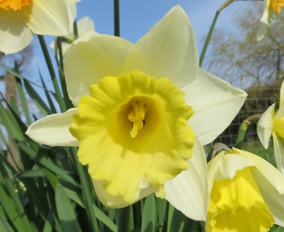 Daffodils at Totnell 3