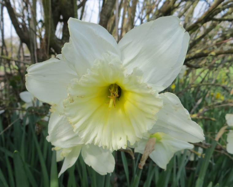 Daffodils at Totnell 4