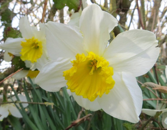 Daffodils at Totnell 5