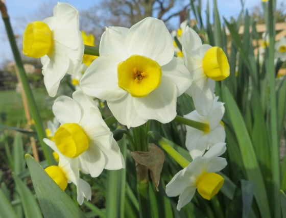 Daffodils at Totnell 7a