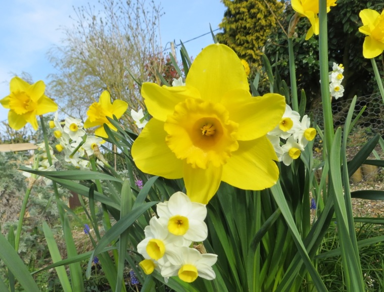 Daffodils at Totnell 7b