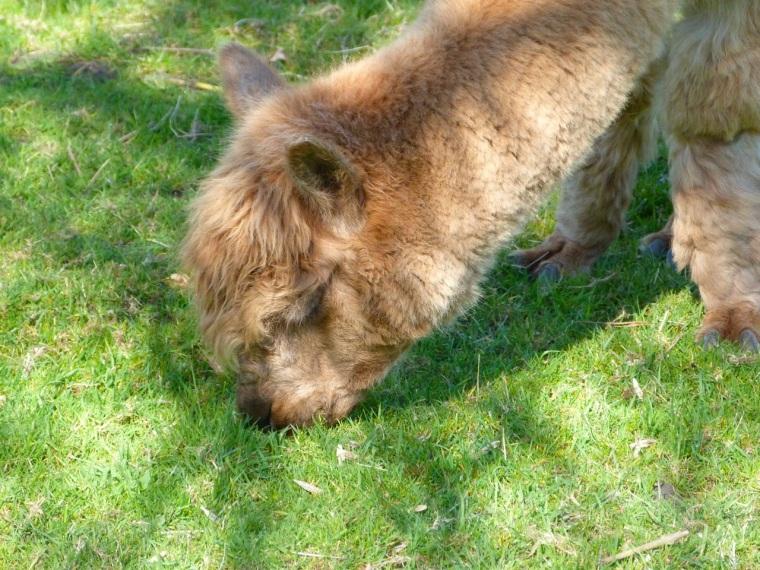 Alpaca Totnell 4.14