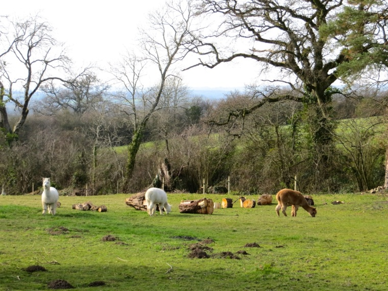 Alpacas in Dorset